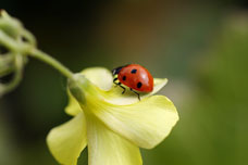 macro photo - ladybug on flower